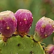 The Prickly Pear  Art Print