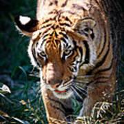 Prowling Tiger Art Print