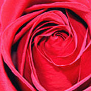 The Red Rose Blooming Art Print