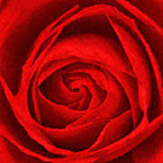 The Red Rose Art Print