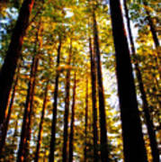 The Redwoods Of Florence Keller Park Art Print