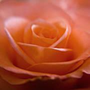 The Rose Art Print by Kim Lagerhem