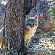 The Shy Fox Art Print