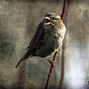 The Singing Sparrow Art Print