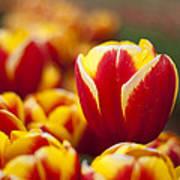 The Single Big Tulip Art Print