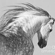 The Spanish Stallion Tosses His Head Art Print