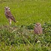 The Stares Of The Burrowing Owls Art Print