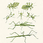 The Stick Insect Art Print