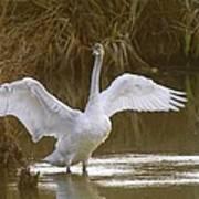 The Swan Spreads Its Wimgs Art Print