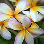 The Sweet Fragrance Of Plumeria Art Print by Pamela Winders