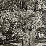 The Swinging Tree Sepia Art Print