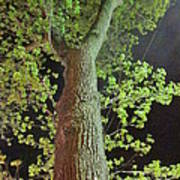 The Tall Trees Watch Art Print