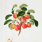 The Tartarian Crab Apple Art Print