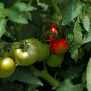 The Tomato Plant Art Print