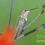 The Tongue Of A Humming Bird  Art Print