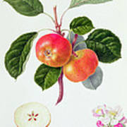 The Trumpington Apple Art Print by William Hooker