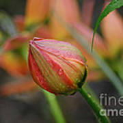The Tulip Bud Art Print
