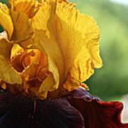 The Velvet Iris Art Print