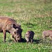 The Warthog Family On Savannah In The Ngorongoro Crater. Tanzania Art Print