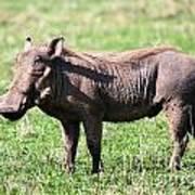 The Warthog On Savannah In The Ngorongoro Crater. Tanzania Art Print