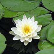 The Water Lilies Collection - 01 Art Print