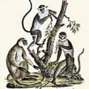 The White-nosed Monkey Art Print