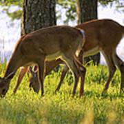The Whitetail Deer Of Mt. Nebo - Arkansas Art Print