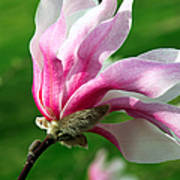 The Windblown Pink Magnolia 1 - Flora - Tree - Spring - Garden Art Print