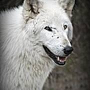 The Wolf. Art Print