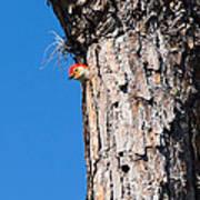 The Woodpecker Is In Art Print