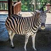 The Zebra Art Print
