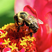 The Zinnia And The Bee Art Print