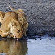 Thirsty Lions Art Print