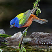 Thirsty Painted Bunting Art Print