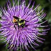 Thistle And Bee Art Print