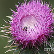 Thistle And The Bee Art Print