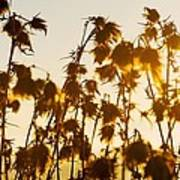 Thistles In The Sunset Art Print