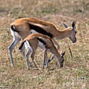 Thompson Gazelles Art Print