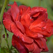 Thorny Red Rose Art Print
