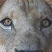 Those Lion Eyes Art Print