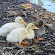 Three Baby Ducks Art Print