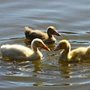 Three Baby Ducks Swimming Art Print