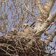 Three Baby Owls  Art Print