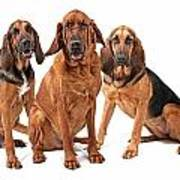 Three Bloodhound Dogs Isolated On White Art Print by Susan Schmitz