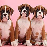 Three Boxer Puppies Art Print