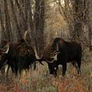 Three Bull Moose Sparring Art Print