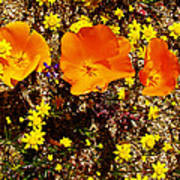 Three California Poppies Among Goldfields In Antelope Valley California Poppy Reserve Art Print