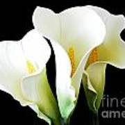 Three Calla Lilies On Black Art Print