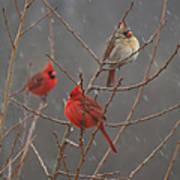Three Cardinals Art Print