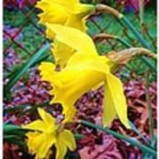 Three Daffodils Art Print